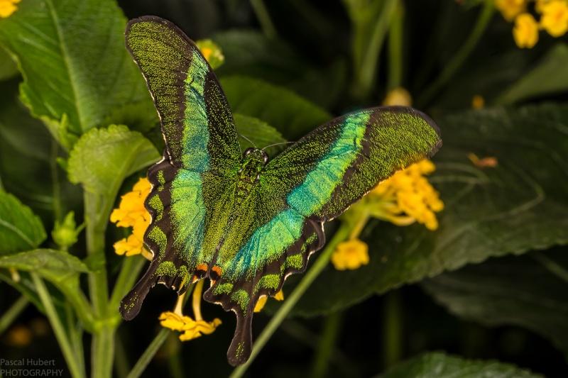 13 / 06 / 2015 - Remerchen / papillons à Grevenmacher  Photos Beluxp12