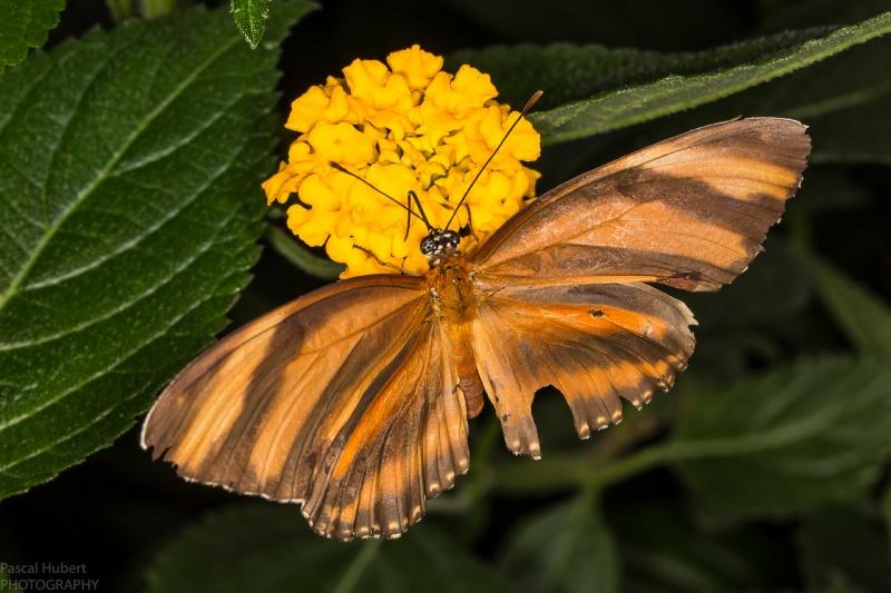 13 / 06 / 2015 - Remerchen / papillons à Grevenmacher  Photos Beluxp15