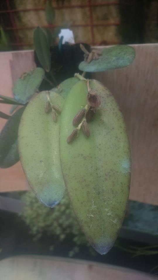 acianthera smithiana 11638010
