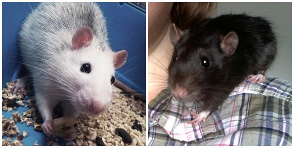 URGENT! Recherche adoptants pour sauvetage de plus de 30 rats - Page 4 Page10