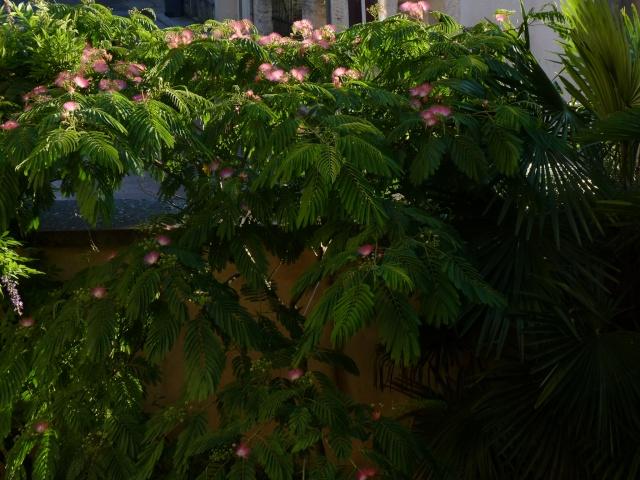 Albizia julibrissin - arbre à soie  P1030611