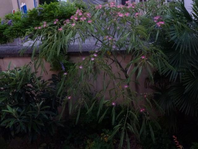 Albizia julibrissin - arbre à soie  P1030612