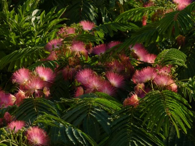Albizia julibrissin - arbre à soie  P1030616
