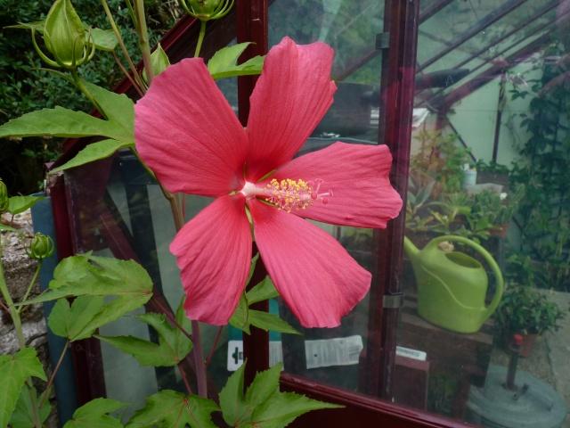 Hibiscus coccineus P1030712