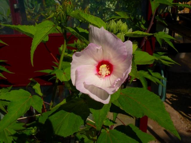 Hibiscus des marais rustiques - sujet général - Page 5 P1030725
