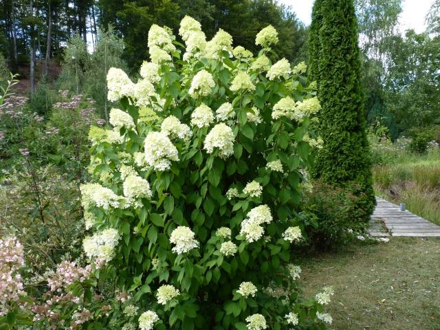 Hydrangea paniculata 'Limelight' P1030728