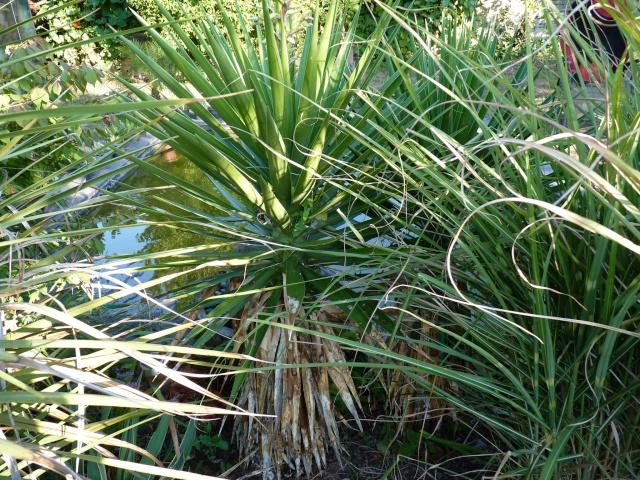yucca aloifolia - Yucca aloifolia P1030811