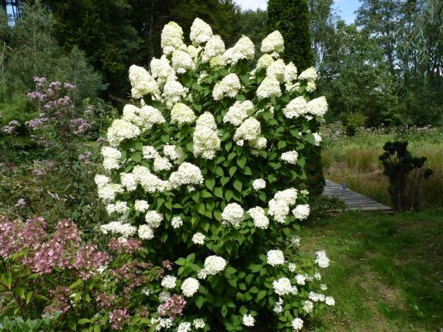 Hydrangea paniculata 'Limelight' P1030819