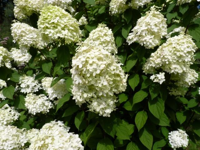 Hydrangea paniculata 'Limelight' P1030820