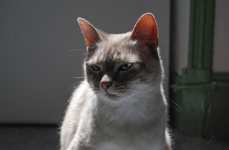Ispahan, femelle Croisée siamoise court tabby crème, née le 01/01/2013 Dsc_0011