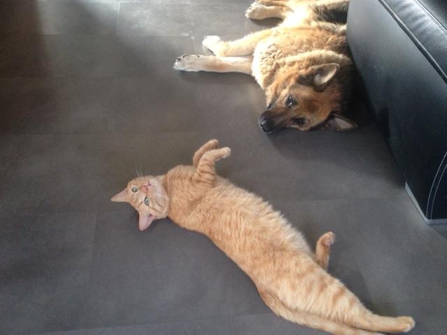 HUGO, chat européen roux, né le 01/05/2012, en sauvetage (frais d'adoption libres) Img_0010