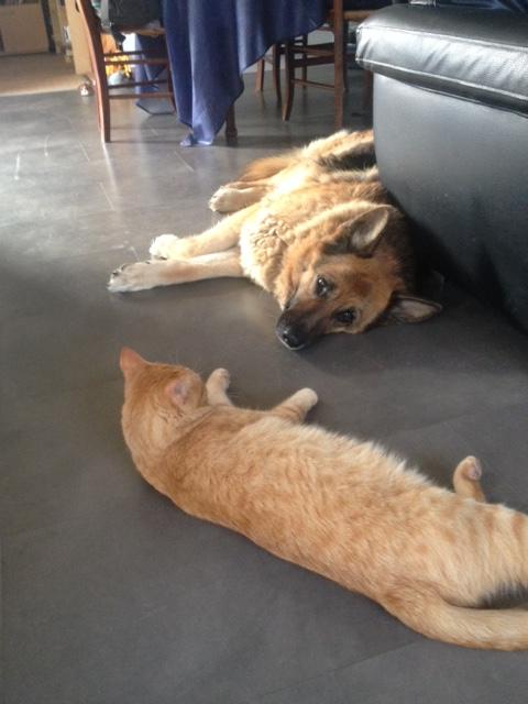 HUGO, chat européen roux, né le 01/05/2012, en sauvetage (frais d'adoption libres) Img_0011