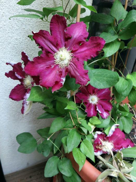 Hahnenfußgewächse (Ranunculaceae) - Winterlinge, Adonisröschen, Trollblumen, Anemonen, Clematis, uvm. - Seite 7 Han10