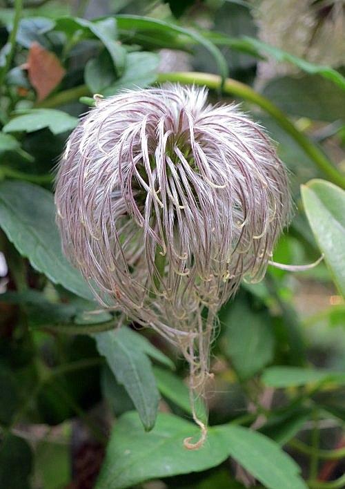 Hahnenfußgewächse (Ranunculaceae) - Winterlinge, Adonisröschen, Trollblumen, Anemonen, Clematis, uvm. - Seite 7 Img_2010