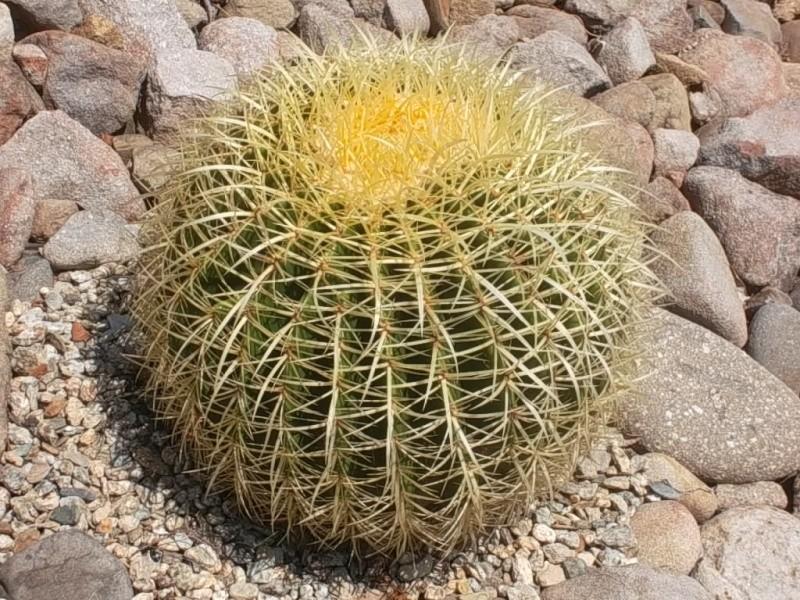 Echinocactus grusonii Sam_0113