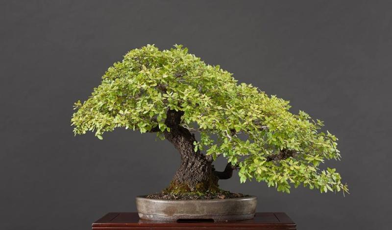Portuguese Oak (Quercus Faginea) 11078110