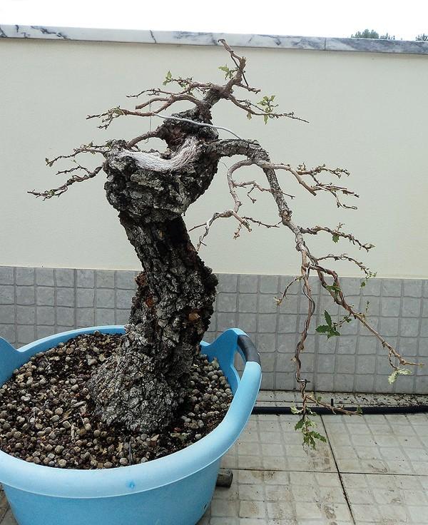 Portuguese Oak (Quercus Faginea) Dsc04910