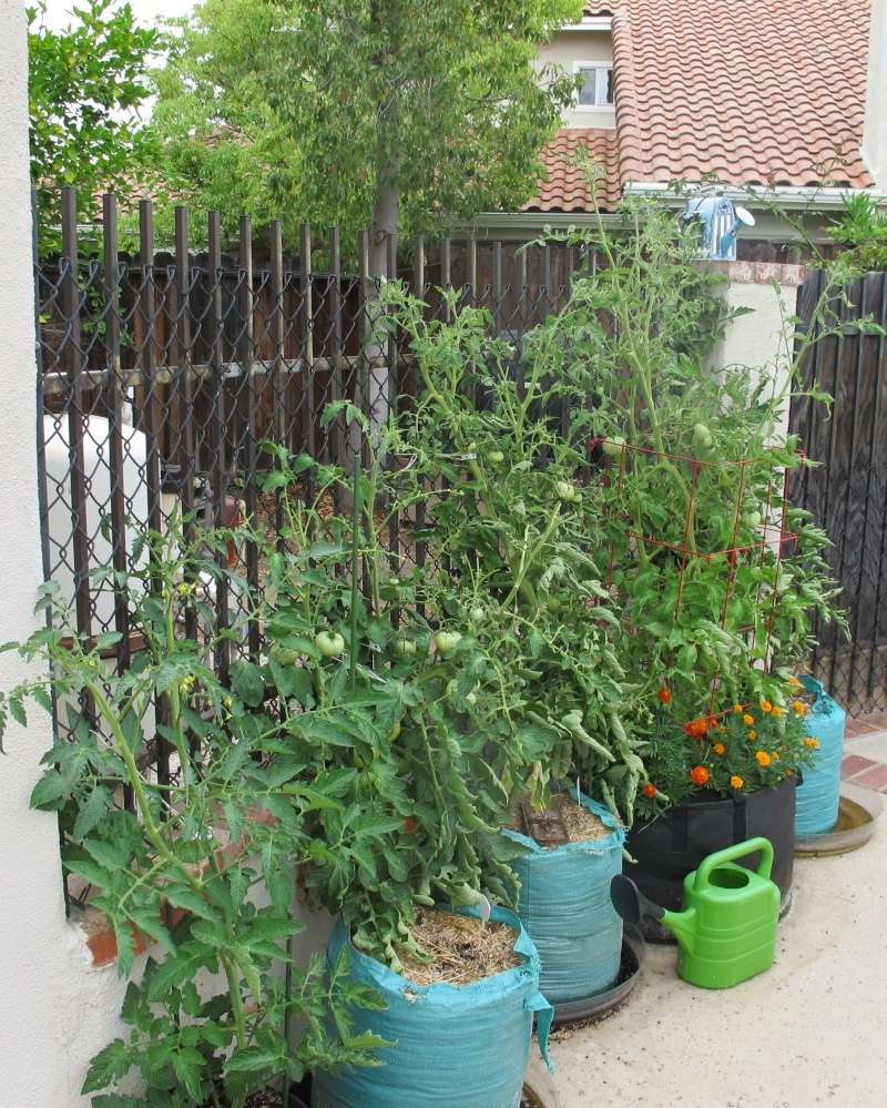 Tomato Tuesday 2015 - Page 9 Img_1524