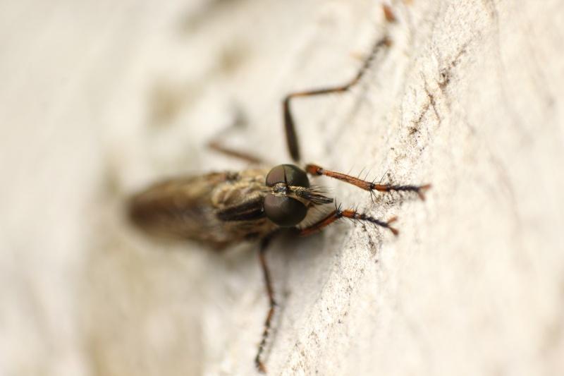 identification mouche prédatrice - Epitriptus ? Img_7311