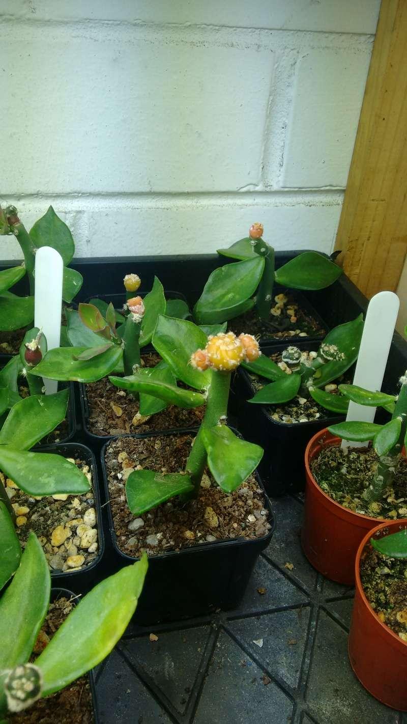 Astrophytums Img_2013