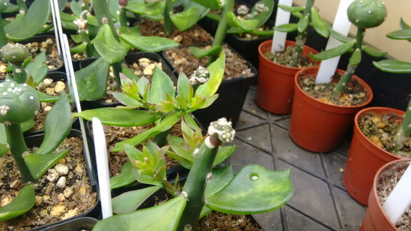Astrophytums Img_2014