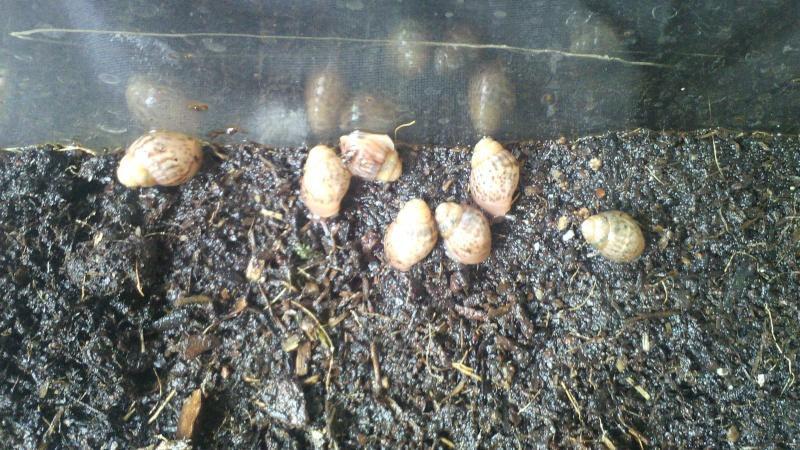 [VENDS]  Achatina immaculata panthera Img_2012