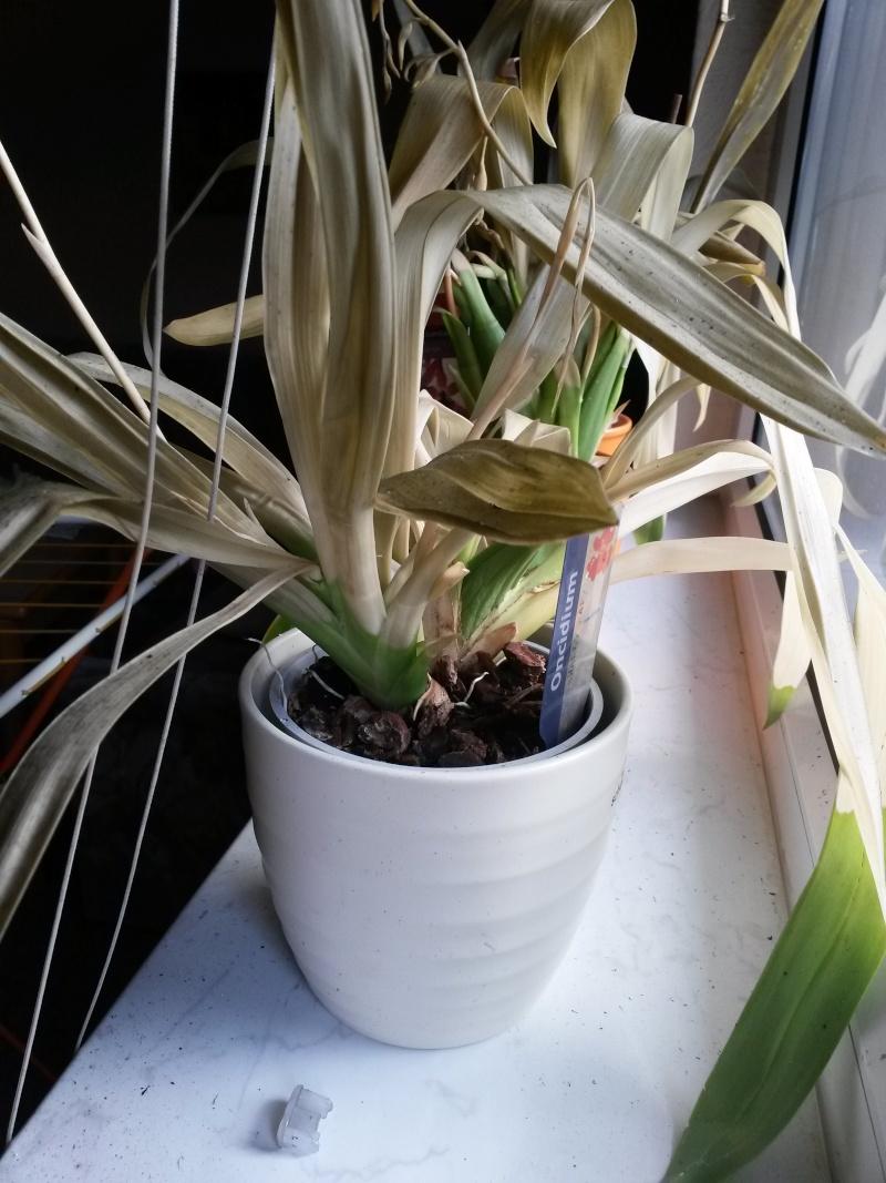 Orchideen mit Hitzeschaden durch Balkonbrand. 20150810