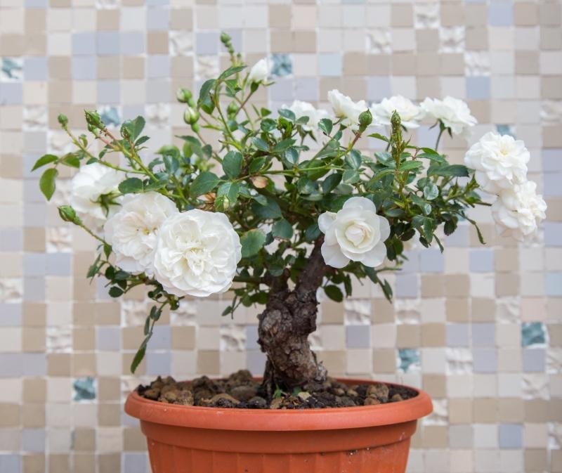 Bonsai di Rosa (?) _mg_3310