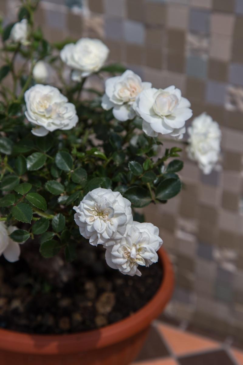 Bonsai di Rosa (?) _mg_3311