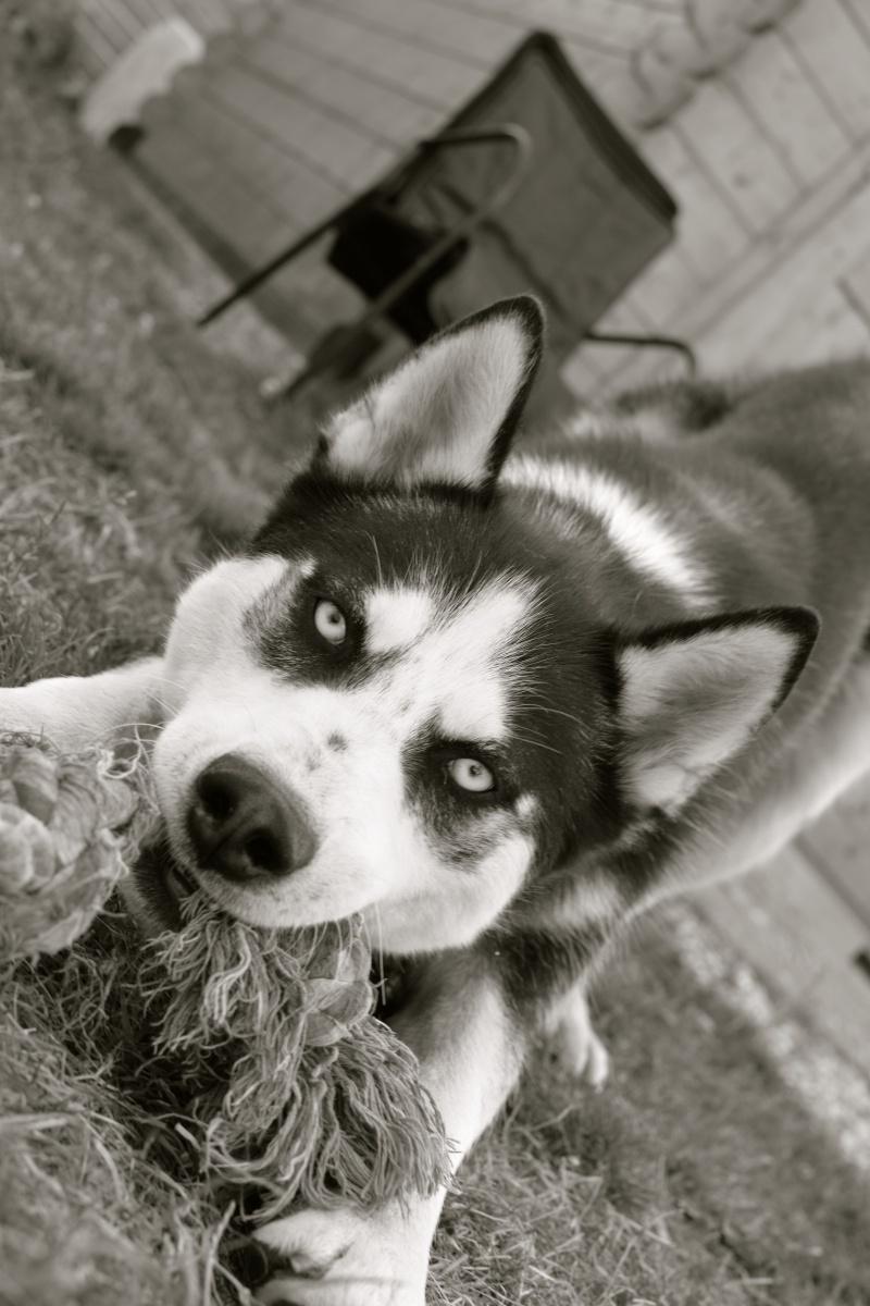 Max, Husky,noir et blanc 02/2014 très beau REFU91 ADOPTE Dsc_2011