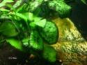 Les algues en aquarium d'eau douce Aalgue10