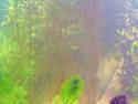 Les algues en aquarium d'eau douce Algue_10