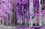 Violettewald
