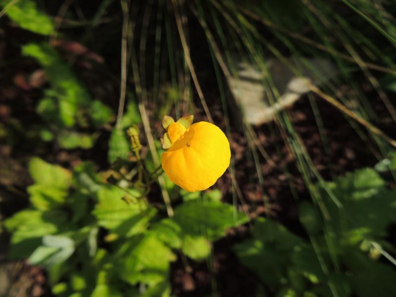 calceolaria - Page 3 Calceo10