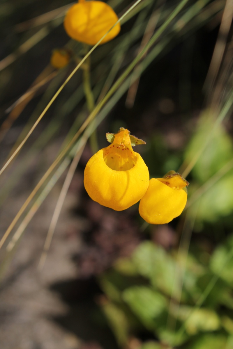 calceolaria - Page 3 Img_0712
