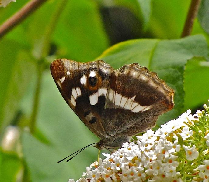 Apatura Iris , grand mars Silene10