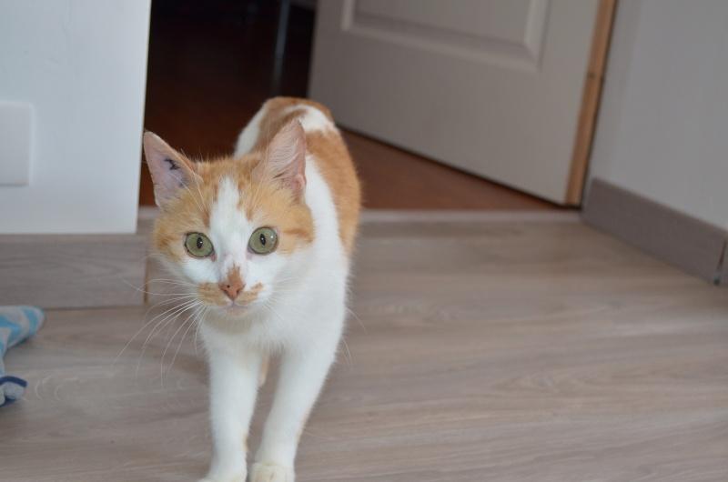 GOLDY, femelle de type européen rousse et blanche, née en 2011 Dsc_0011