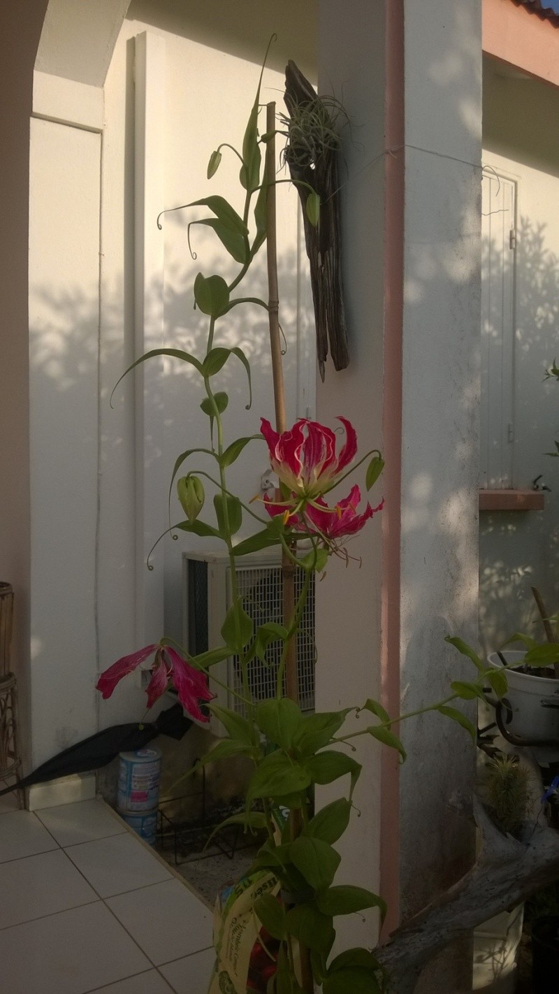 mon cadeau : lys beguin Wp_20111