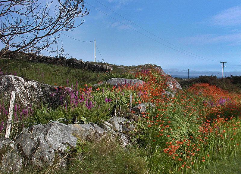 Irlande 2015 - Wild West Coast  - VVVVV- Fleurs11