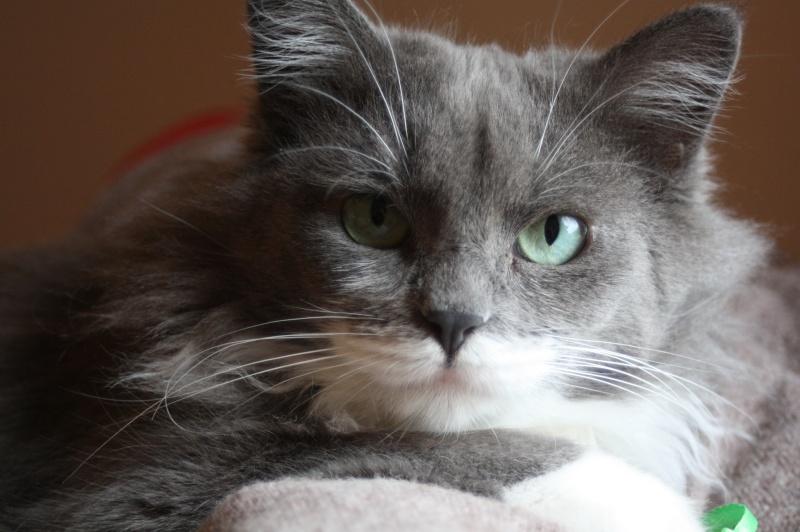 Jokari, femelle type européen grise et blanche née le 1er mai 2014 - Page 15 Img_2812