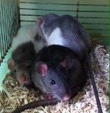 Les petits ratous kinder de miss Tagada 🐀 - Page 3 Ratoun10