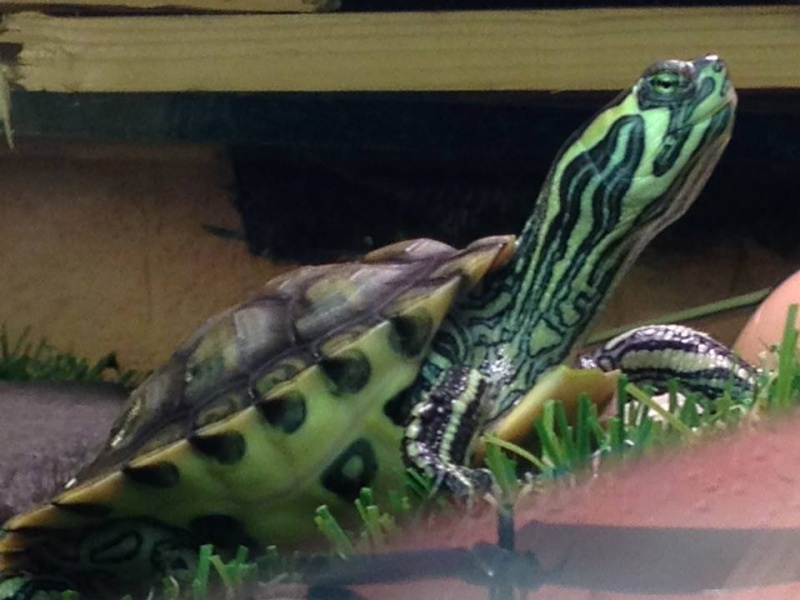 Tortues trachemys x2 - Jour 1 . - Page 2 02-0710