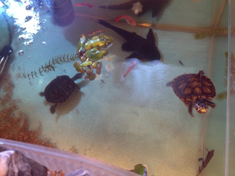 Tortues trachemys x2 - Jour 1 . - Page 3 A15410