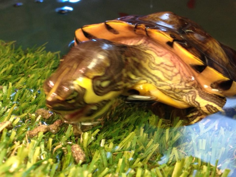Tortues trachemys x2 - Jour 1 . - Page 3 T210