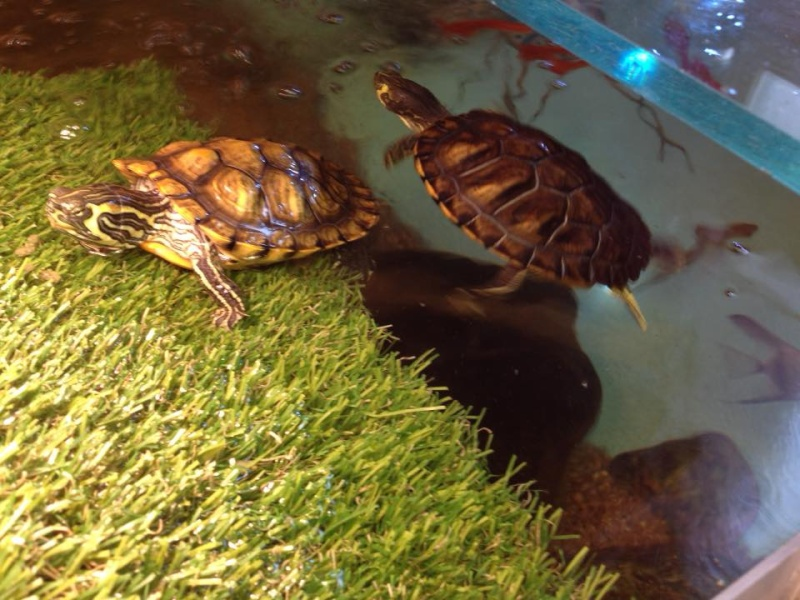 Tortues trachemys x2 - Jour 1 . - Page 3 T310