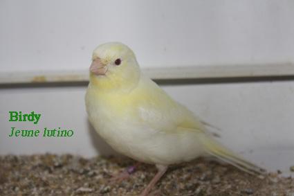 Canaris du monde - Portail Birdyl11