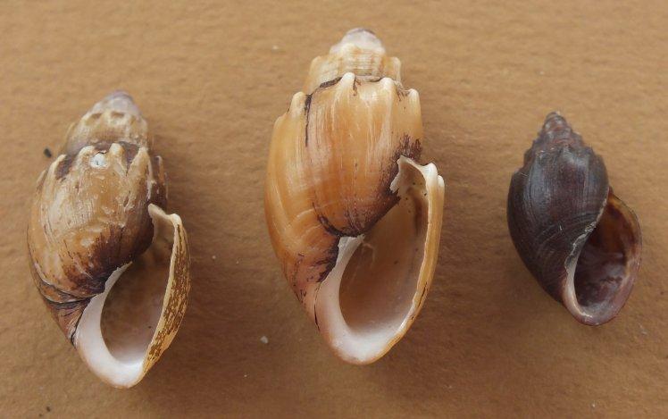 Thiara scabra, cornuta ou amarula ? Dscf4617