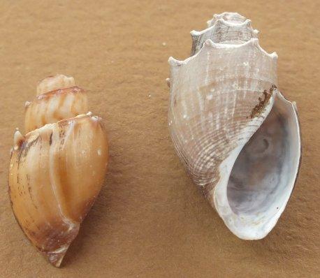 Thiara scabra, cornuta ou amarula ? Dscf4618