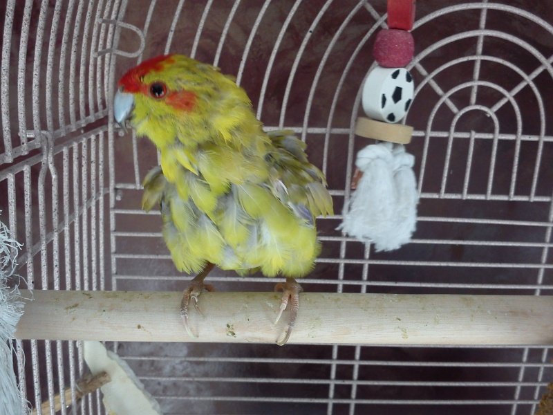 les plumes de mon kakariki ne son pas beux Kyko_e11