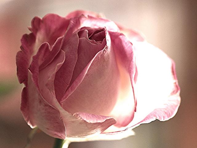 Roses dans les alpes... 17776711